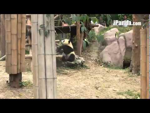 Panda Chengdu [1]24.05.14