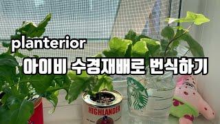 [키우기 쉬운 식물] 아이비 수경재배로 번식하기