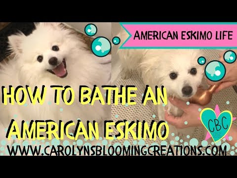 Minnie Pearl the #Eskie: How to Bathe an American Eskimo Dog | Cute Dog Video!