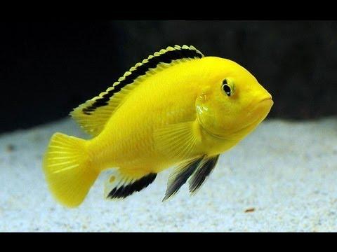 Labidochromis Caeruleus ( Labidochromis Yellow ) - YouTube  Labidochromis C...