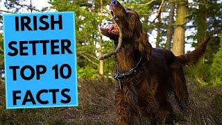 Irish Setter  TOP 10 Interesting Facts