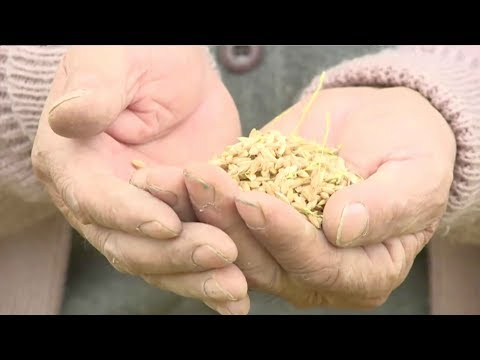 Upland rice successfully raised in on the North China Plain