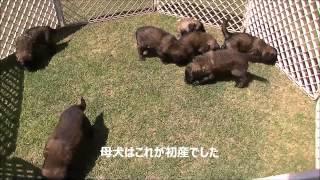レオンベルガーの情報はこちらから http://huge-dog.asia/ http://www.m...