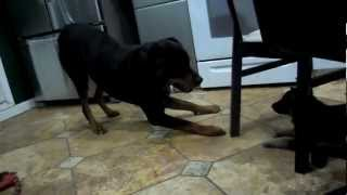 German Shepherd Puppy Playing With Rottweiler