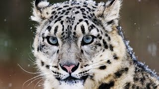 10 Incredible Facts About the Snow Leopard
