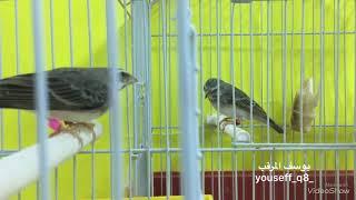 طائر مكس الياسمين قري x الموزمبيقي grey singing finch x serin mozambique