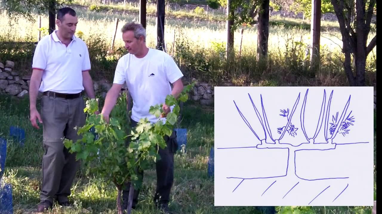 Comment tailler la vigne en cordon de royat youtube - Comment tailler la menthe ...
