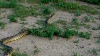 Biggest Bull Snake I've ever seen, or caught!
