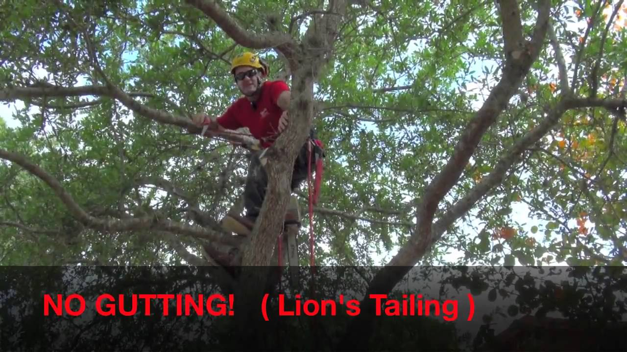 Pruning Live Oak For Health Amp Safety Mov Youtube