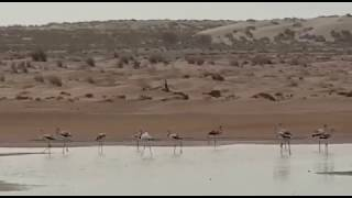Flamingos at Oman's lakes in Al Suwih beach, South Sharqiyah thumbnail
