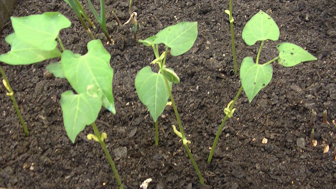 Como sembrar judias en macetas youtube for Como sembrar semillas en macetas