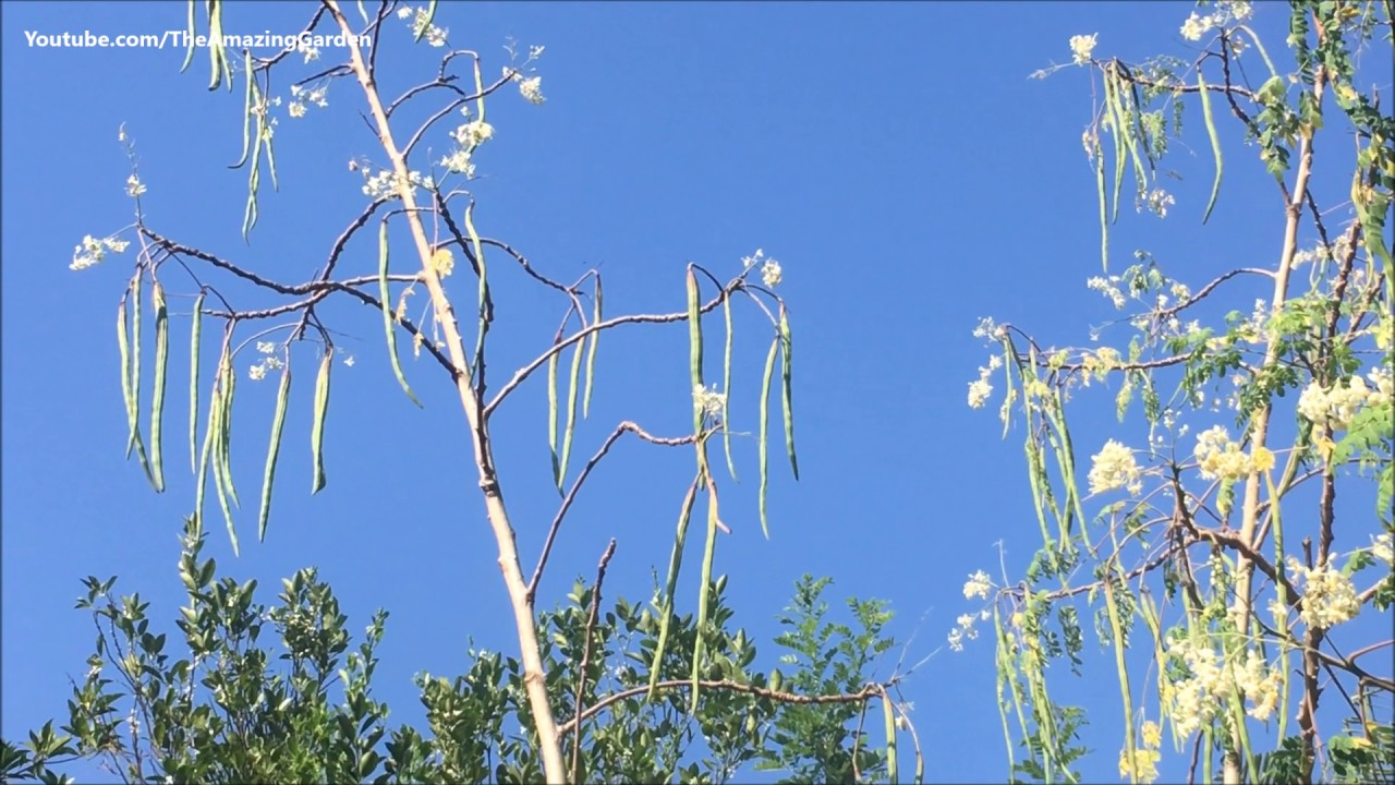 Moringa oleifera tree with lot of drumsticks and flowers youtube moringa oleifera tree with lot of drumsticks and flowers izmirmasajfo