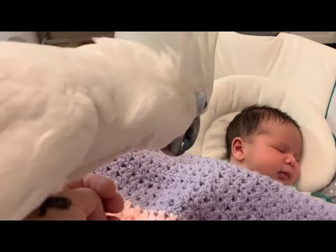 Pet cockatoo introduced to newborn baby addition
