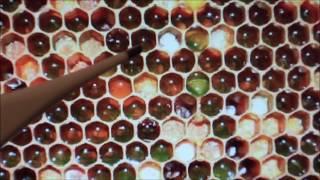 Пчелы, влияние длины хоботка на мед.