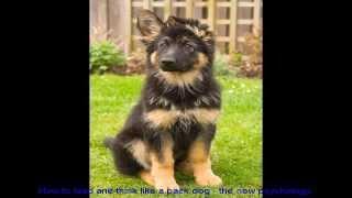 Crate Training A German Shepherd Video