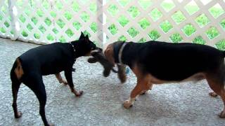 Min Pin And Beagle Fighting Over Toys