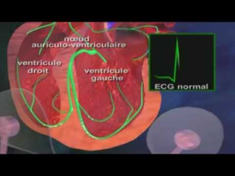 hqdefault - La circulation : le fonctionnement cardiaque