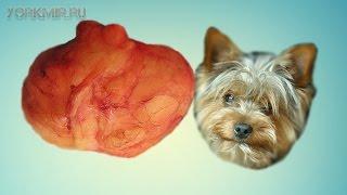 Липома у собак | Что такое | Виды | Лечение.(, 2016-03-11T18:37:57.000Z)