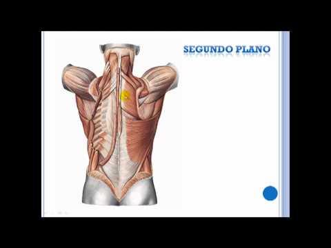 Musculos de la espalda - YouTube