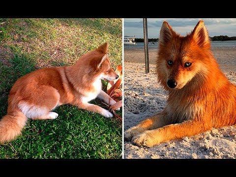 Помски Миа собака-лиса, покорившая Интернет своей уникальной внешностью