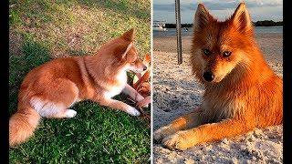 Помски Миа - собака-лиса, покорившая Интернет своей уникальной внешностью