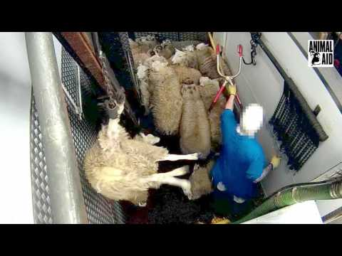 Calls for tough action against cruelty in Stockport slaughterhouse