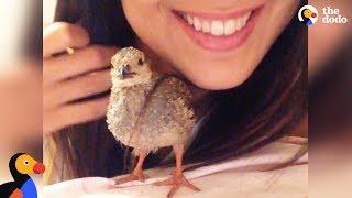 Rescue Partridge Bird Follows His Mom Everywhere | The Dodo