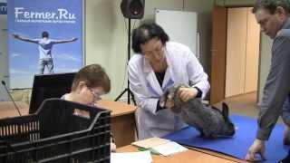 Бонитировка кроликов на конкурсе Пермский Кролик