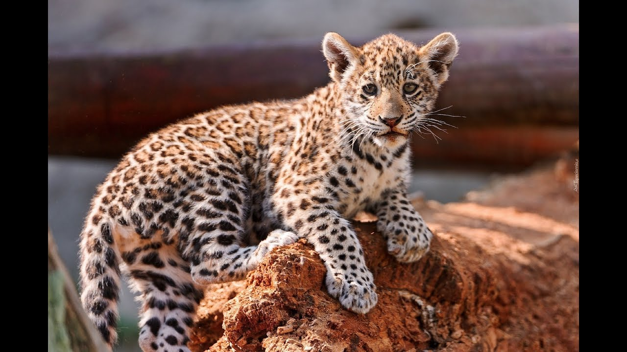Najbardziej Zagrożony Kot Na świecie Lampart Leopard Zwierzęta