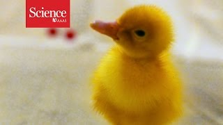 Ducklings Capable Of Abstract Thought