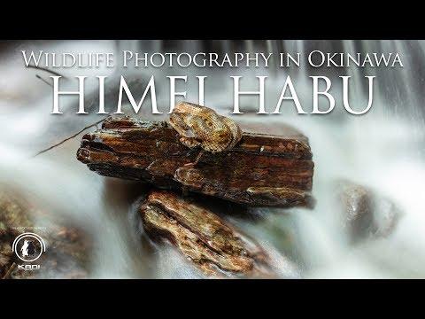 Venomous Snakes Of Okinawa, The Himei Habu Pit Viper