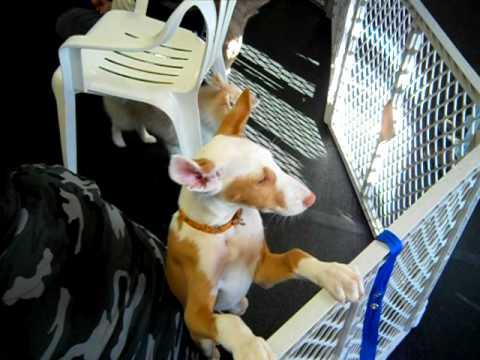 Ibizan Hound puppy fun day
