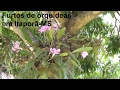 Furto de orquídeas em Itaporã
