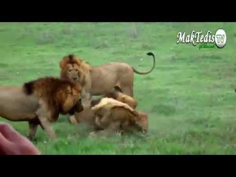 Bầy sư tử đực bao vây một con sư tử mới lớn