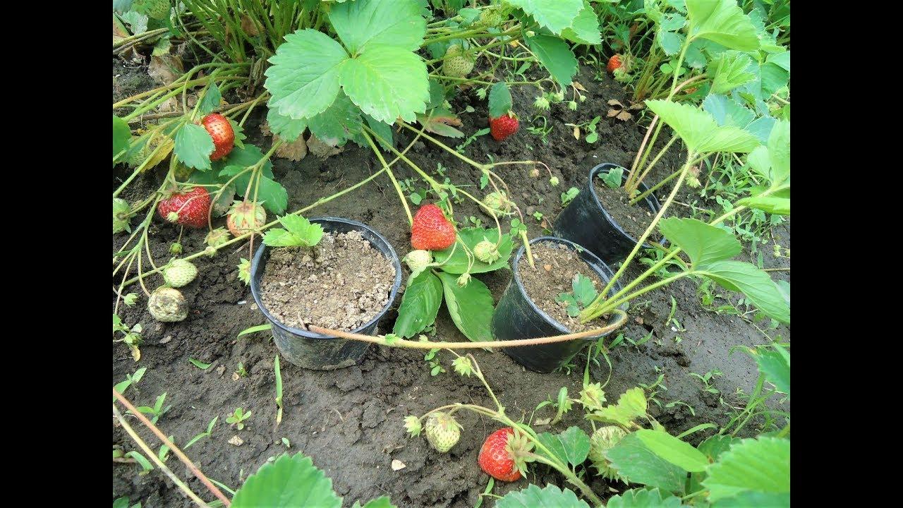 căpșuni pentru tratamentul vederii