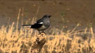 鵲鴝(豬屎喳) Oriental Magpie Robin