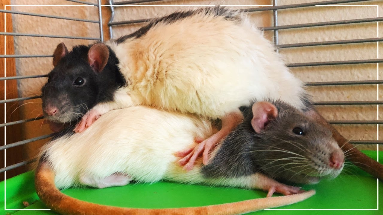 the most adorable baby rats in the world  cc