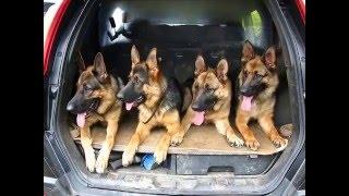 Дрессировка собак  Кинолог в Самаре