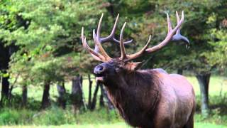 Bugling 6x6 Bull Elk in the Appalachian Mountains