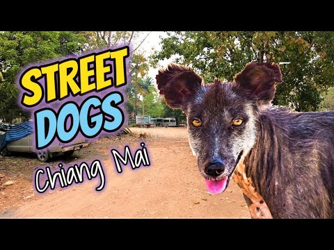 Thailand Street Dogs | Should You Be Worried?