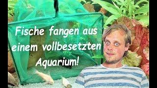 Fische aus einem voll eingerichteten Aquarium fangen - Panzerwelse überlisten