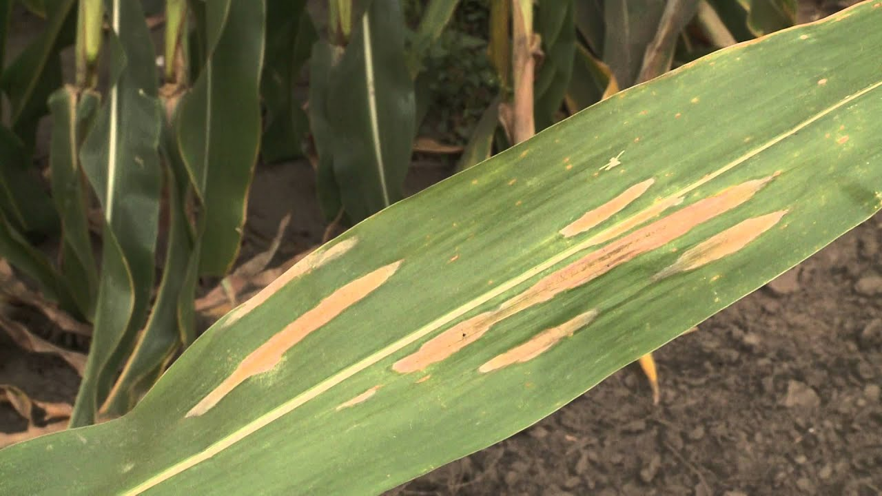 Corn Diseases: Northern Corn Leaf Blight - YouTube