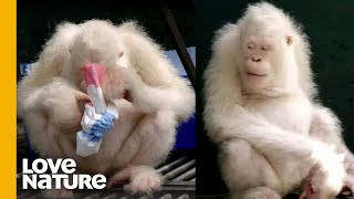 The World's Only Albino Orangutan SOLVES PUZZLES!! | Love Nature