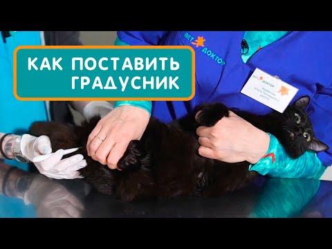 Как измерить кошке температуру электронным градусником