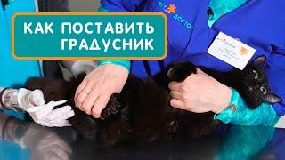 Как измерить температуру кошке или коту градусником в домашних условиях. Совет ветеринара