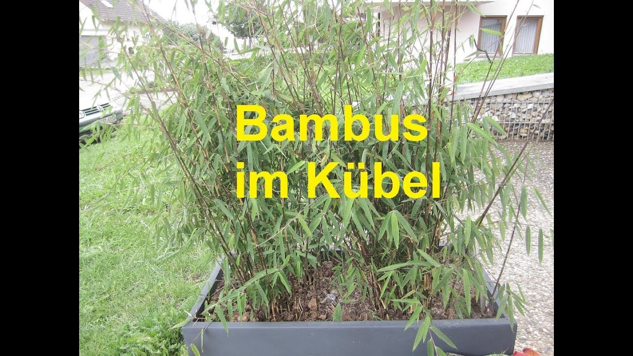 Bambus Im Kübel Youtube