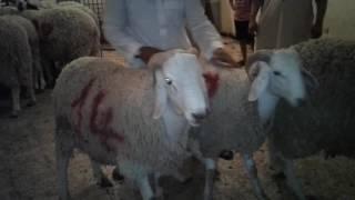 Bouira vente et distribution de Moutons L'aid 2016