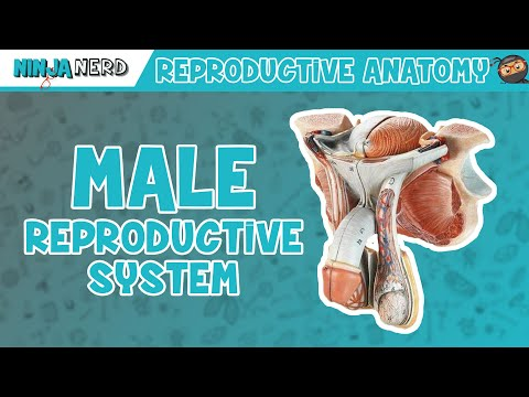 anatomy-of-male-reproductive-system