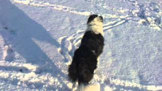 Border Collie Playing in The Snow