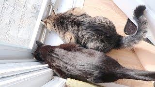 Boo's Bad Mood, Fussy Hydrox, Lint Rolling A Cat - S3 E80 - Cats - Cat Video
